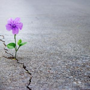 Purple flower growing from crack in cement